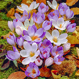 Fall Blooming Crocus Mixture
