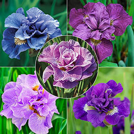 Double Siberian Iris Collection