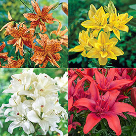 Pollen-Free Double Lily Collection
