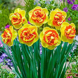 Kiwi Sunset Daffodil