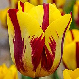 Helmar Tulip