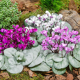 Hardy Winter-Blooming Silver Leaf Cyclamen Mixture