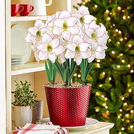 Picotee Amaryllis in Red Dot Pot Single & Triple