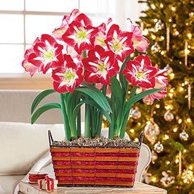 Twinkle Amaryllis Basket Single & Triple