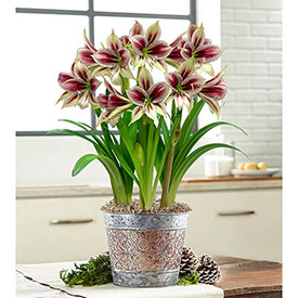 Papilio Amaryllis in Mixed Metal Pot Single & Triple