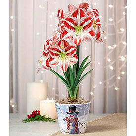 Clown Amaryllis in Snowman Pot