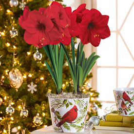 Miracle Amaryllis in Cardinal Pot Single & Duo