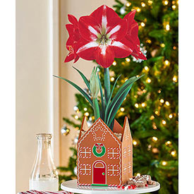 Gingerbread House Twinkle Amaryllis