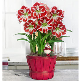 Samba Amaryllis in Red Bushel Basket Single & Triple