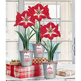 Glad Tidings Amaryllis Trio