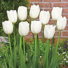 Tulip bulbs shipped from Holland to Canada