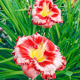 Parrot Tattoo Reblooming Daylily