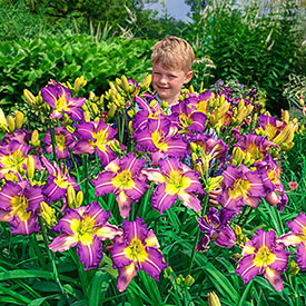 Regency Heights Daylily