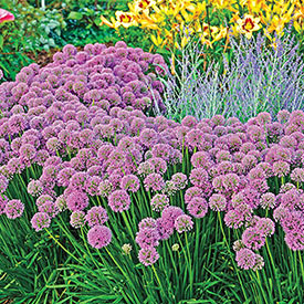 Millenium Ornamental Onion