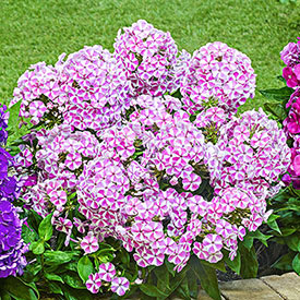 Candy Crush Bambini® Reblooming Dwarf Phlox