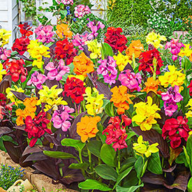 Dwarf Canna Mixture