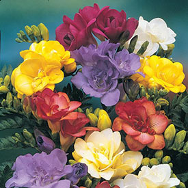 Double Freesia Mixture