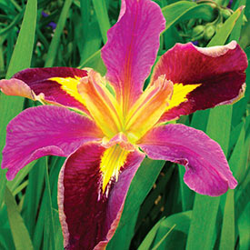 Spicy Cajun Louisiana Iris