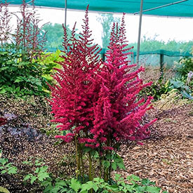 Bachelor Party Astilbe