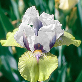 Double Your Fun Reblooming Bearded Iris