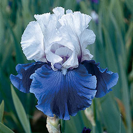 Mariposa Skies Reblooming Bearded Iris