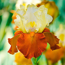 Fall Fiesta Bearded Iris