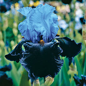 Dangerous Mood Tall Bearded Iris