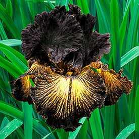 Sorbonne Tall Bearded Iris