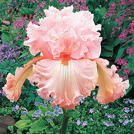 Augustine Tall Bearded Iris