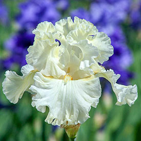 Boston Cream Bearded Iris