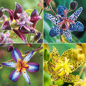 Toad Lily Collection