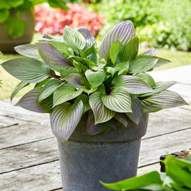 First Blush Hosta