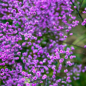 Hewitt's Double Chinese Meadow Rue