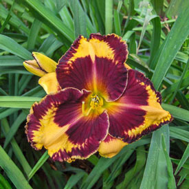 Orange Artist Reblooming Daylily