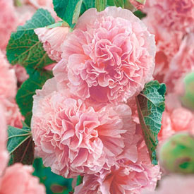 Peaches 'n Dreams Double Hollyhock