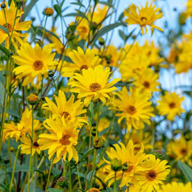 Willow Leaved Sunflower