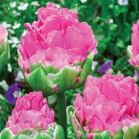 Strawberry Ice Cream™ Tulip