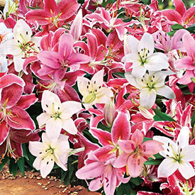 Oriental Carpet Border Lily™ Mixture