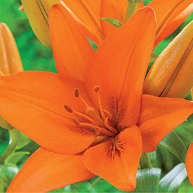 Orange Ton Asiatic Lily