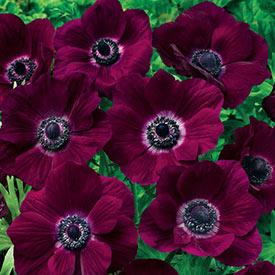 Poppy Anemone Burgundy™