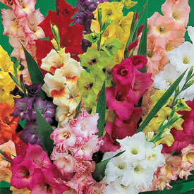 Deluxe Gladiolus Mixture Super Sak®