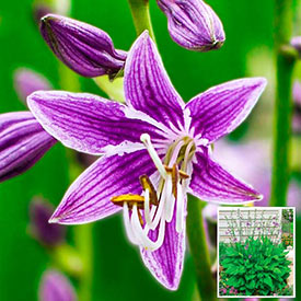 Purple Sensation Hosta