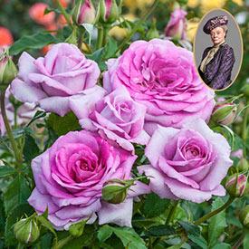 Violet's Pride™ Downton Abbey® Floribunda Rose