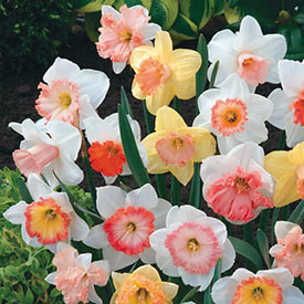Hybridizer's Pink™ Daffodil Mixture