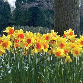 Juanita Daffodil