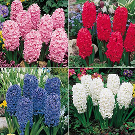 Giant Hyacinth Collection