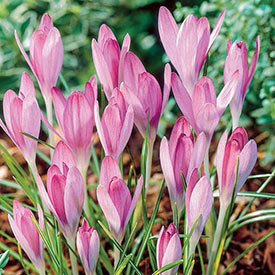 Pink Snow Crocus