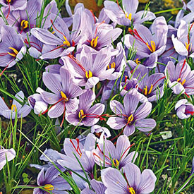 Saffron Fall-Blooming Crocus