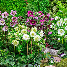 Single-Flowered Hellebore Collection