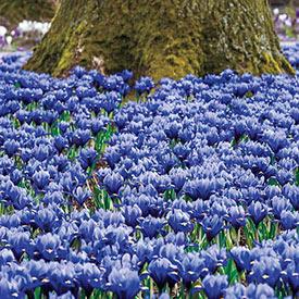 Joyce Dwarf Iris Carpet